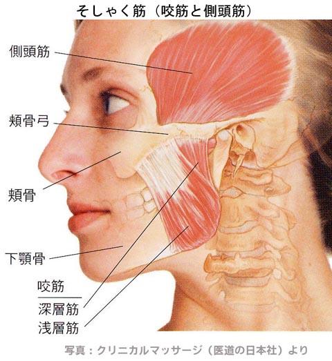 顎関節にまつわる筋肉群